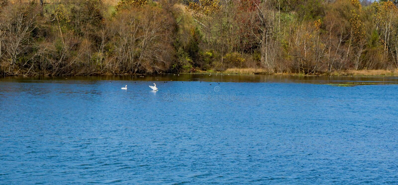 A Pair of Tundra Swans Swimming in a Pond. A pair of white Tundra Swans swimming in a pond located in The Greenfield Recreation Park, Troutville, Virginia, USA stock images