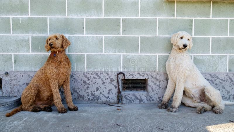 A pair of twin Poodle brothers sitting against the wall royalty free stock photography