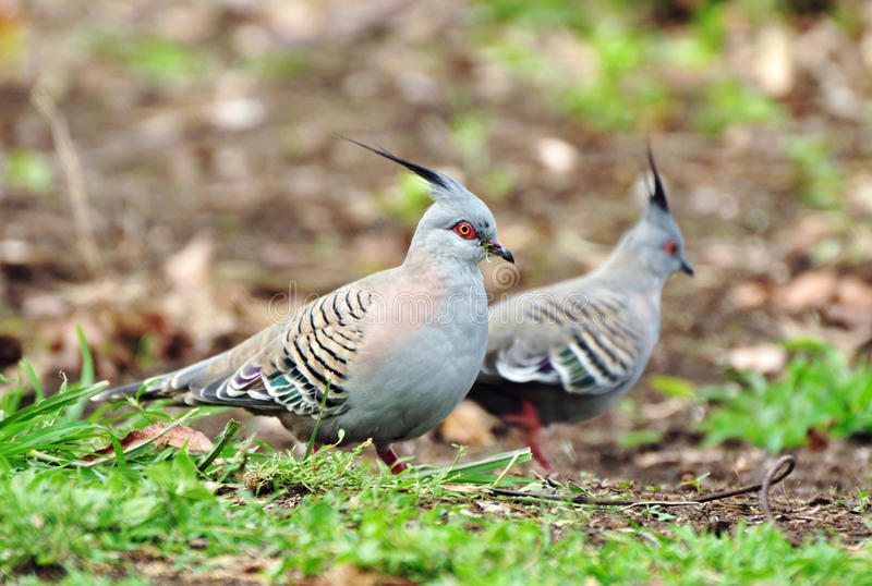 Pair of two beautiful Australian crested pigeons birds garden. An isolated pair of two soft and beautiful Australian crested pigeons scratching in the earth and stock photos