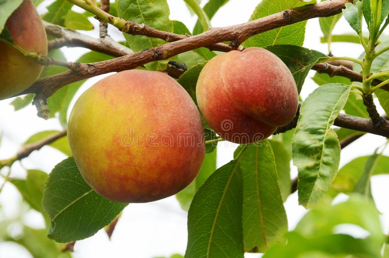 A pair of two ripe peaches ready for harvest stock photography