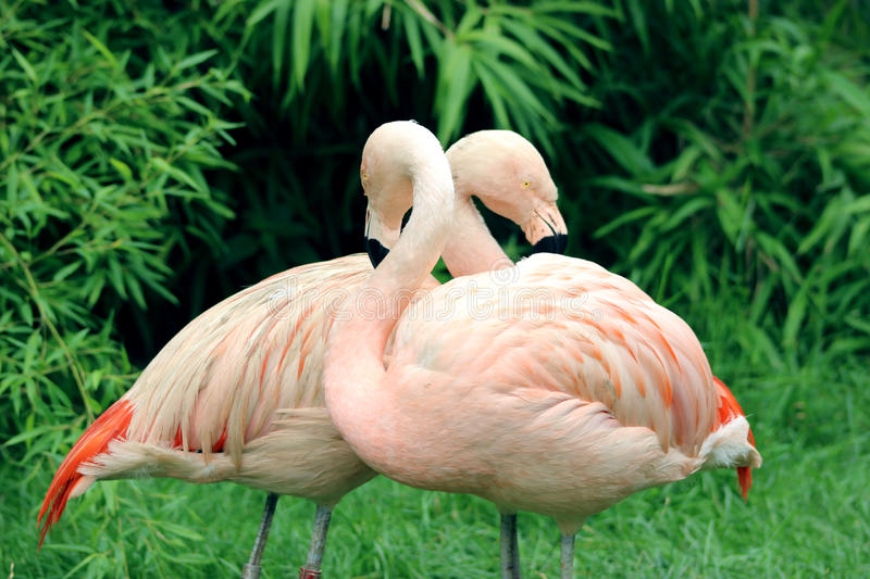 Pair of Two Pink Flamingos stock images