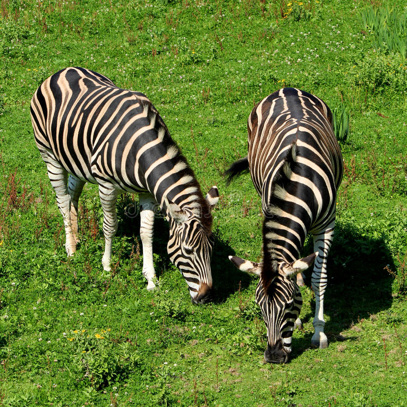 Pair of two zebra feeding on grass. Pair of two zebra feeding on lush grass stock photo