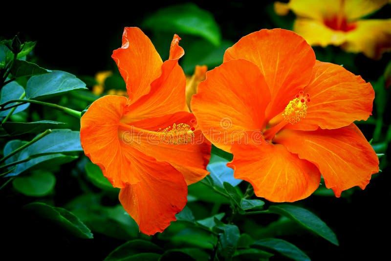 Pair of vibrant orange hibiscus flowers royalty free stock photo