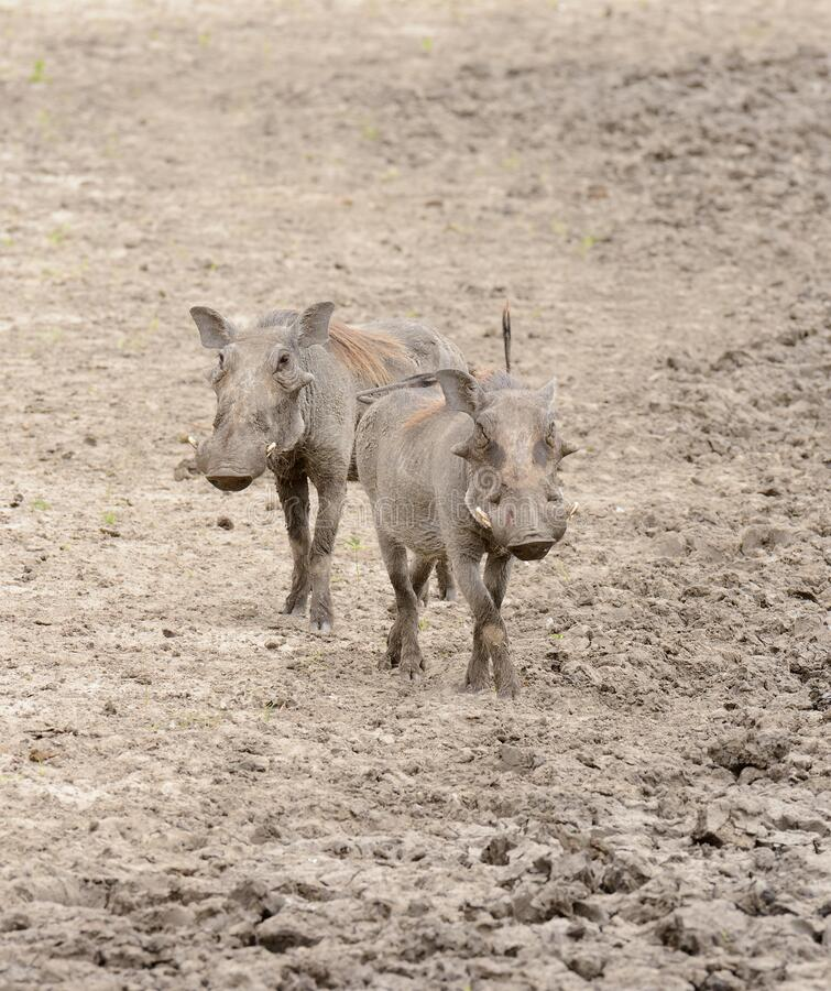 Pair of warthog in Tarangire National Park stock photography