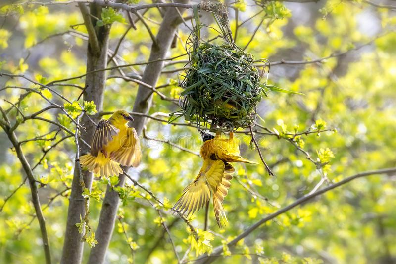 A pair of weaver birds building a nest royalty free stock photography