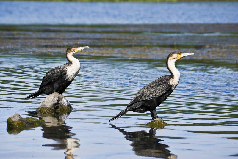Pair Of White-breasted Cormorants Royalty Free Stock Photography