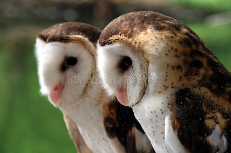 Pair of white-faced owls. Pair of white-faced glass owls against green background royalty free stock images