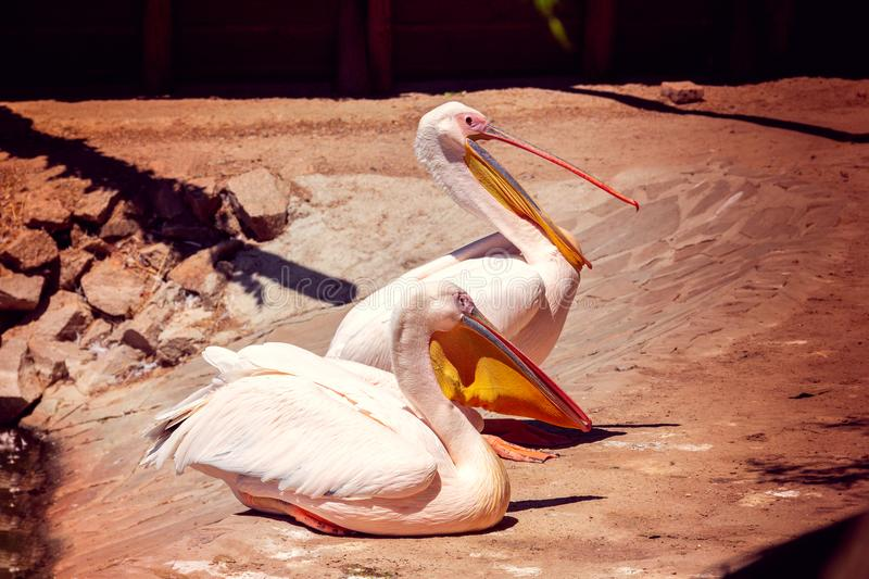 Two white pelicans stock image