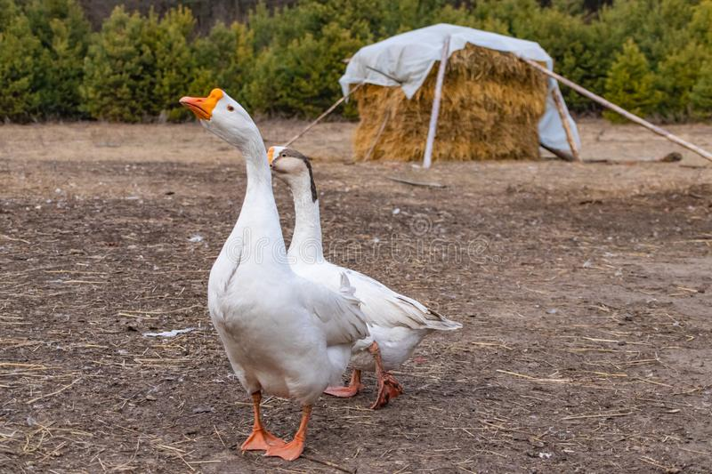 A pair of white purebred geese he and she in the yard in the spring in March royalty free stock photo