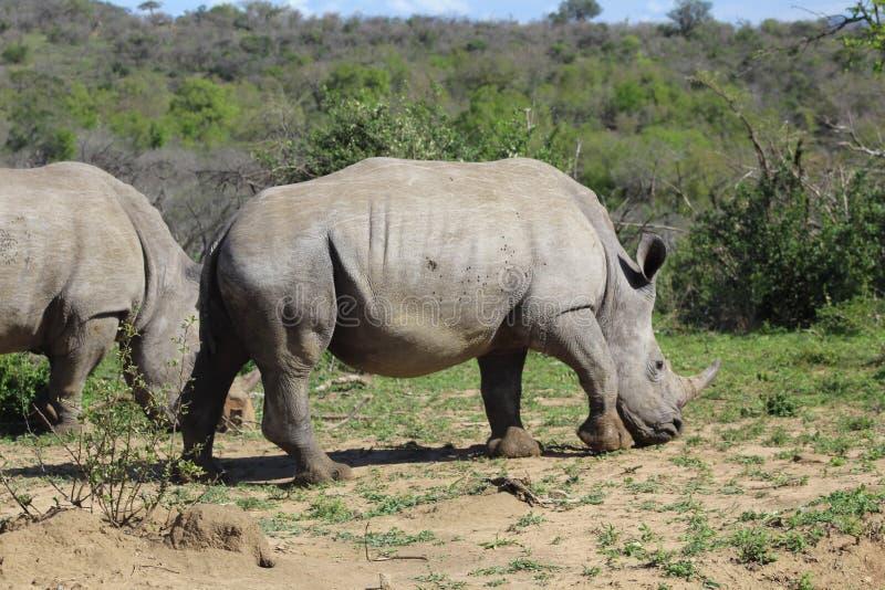 Pair of White Rhino. White Rhino captured in the wilderness of Hluhluwe Imfolozi Reserve, KwaZulu-Natal, South Africa stock image