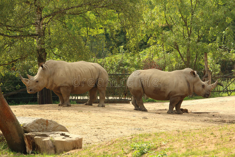 Pair of white rhinoceros (square-lipped rhinoceros) standing on. White rhinoceros (also known as square-lipped rhinoceros) standing on dusty ground stock photography