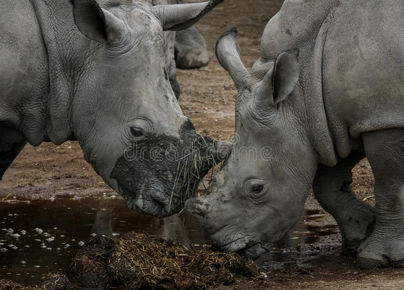 Pair of white rhinos feeding royalty free stock photo