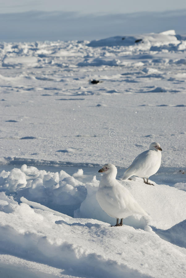 A pair of white snowy plover in Antarctica.
