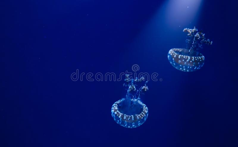 A pair of white spotted jellyfish floating in blue water with a spotlight shining down stock photos
