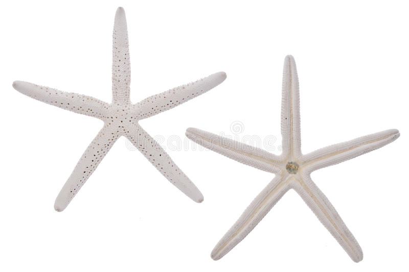 Download Pair Of White Starfish Royalty Free Stock Photo - Image: 15079855