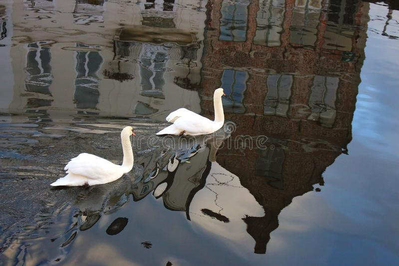 Pair of white swans in canal with historic buildings reflection in water. stock images
