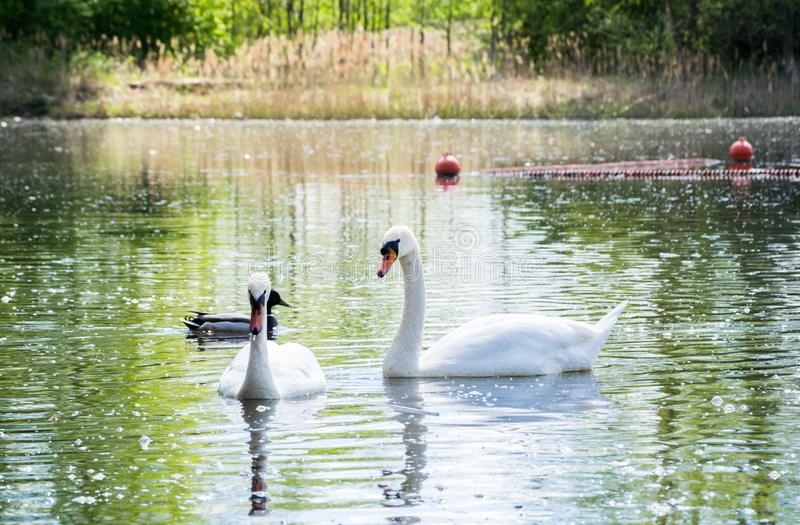 A pair of white swans are floating in a lake in the company of a drake royalty free stock photo