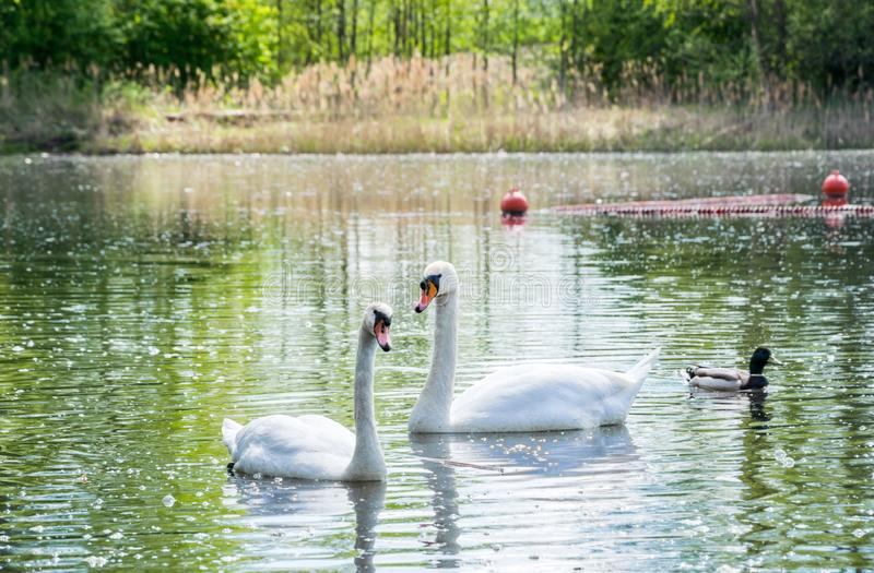 A pair of white swans floating in the lake in the company of ducks royalty free stock photography