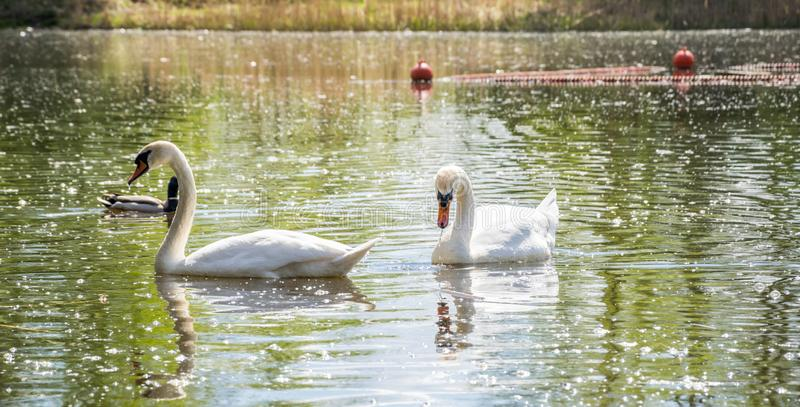 A pair of white swans floating in the lake in the company of ducks stock images