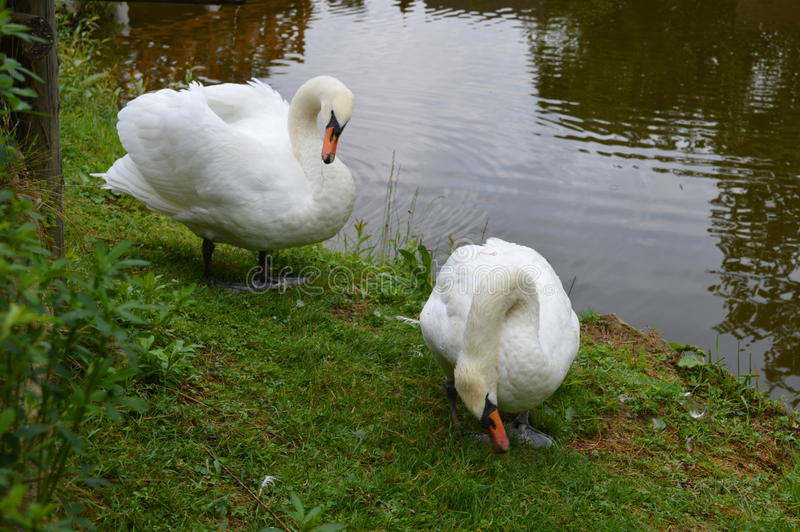 A pair of white swans, near the pond stock photography
