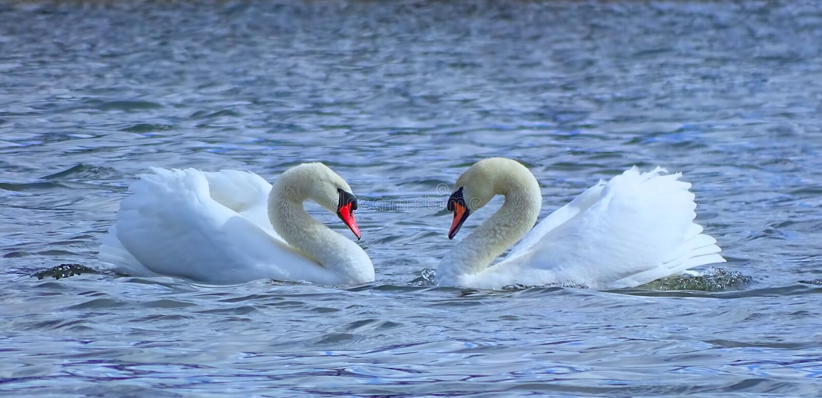 Pair of white swans royalty free stock image