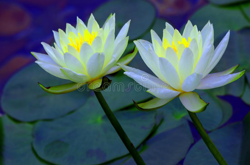Pair of white water lilies. Two white water lilies leaning sideways in the garden pond royalty free stock photography