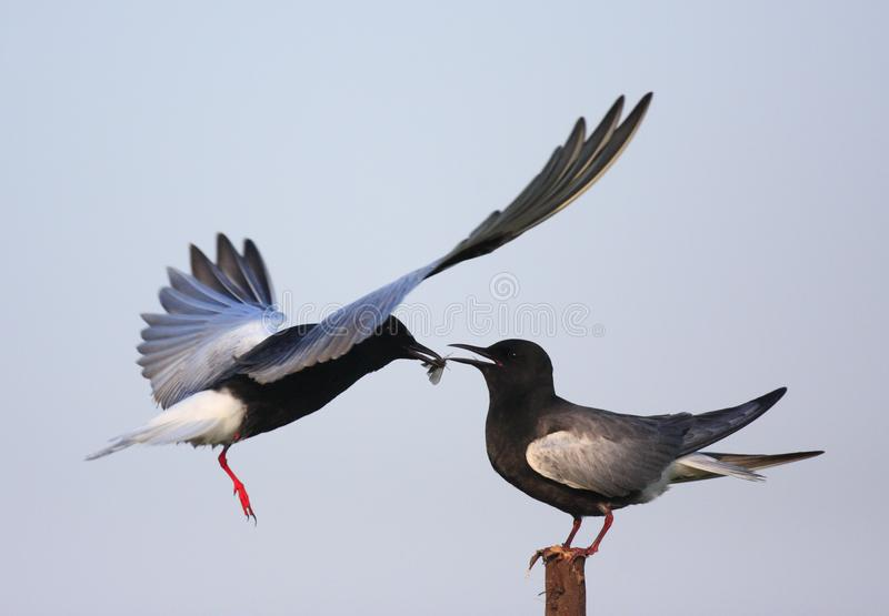 Pair of White-winged Black Tern birds feeding during a spring ne. Sting period royalty free stock photo