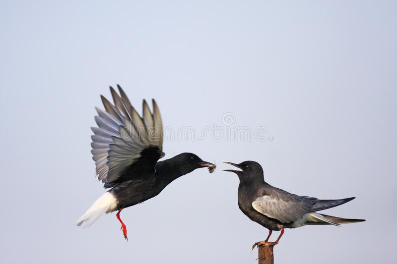 Pair of White-winged Black Tern birds feeding during a spring ne. Sting period royalty free stock photos
