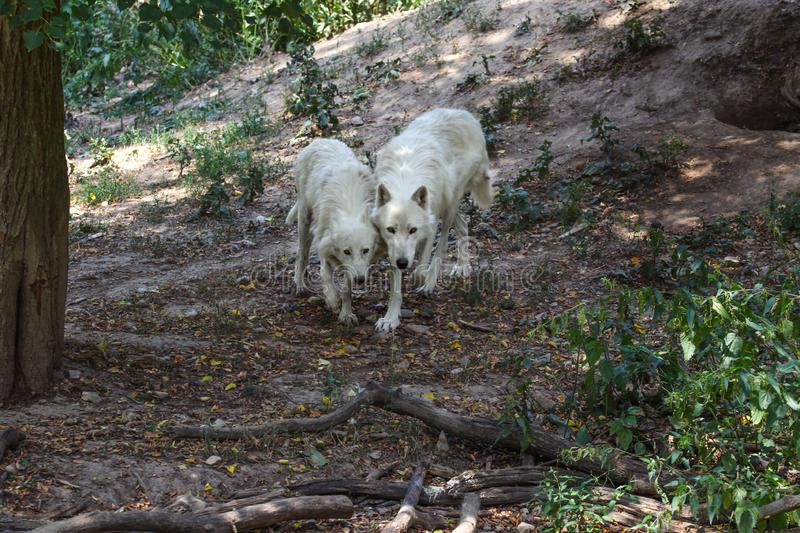 Pair of white wolves Canis lupus arctos walking in forest together stock image