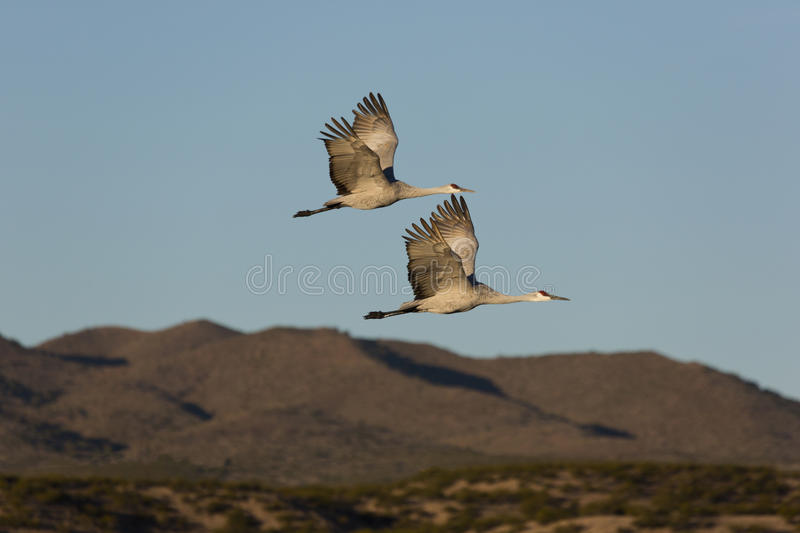 Pair of wild sandhill cranes fly against New Mexico mountains. Pair of wild sandhill cranes fly together against rugged New Mexico's Chupadera Mountains stock photography