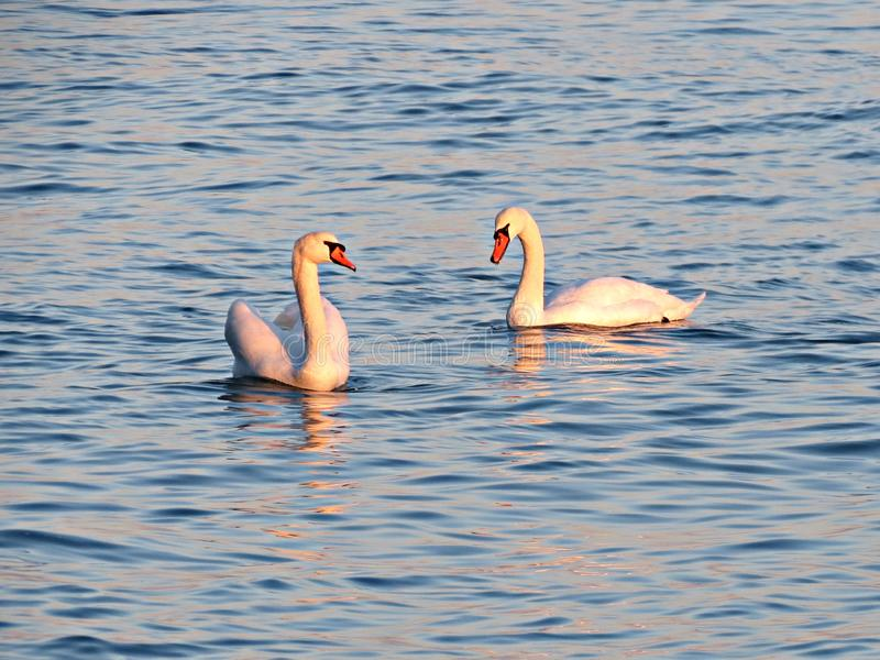Pair of wild swans swimming on the lake at sunset. Two floating swans. Wild nature. Pair of wild swans swimming on the lake at sunset. Beautiful swan birds stock photo