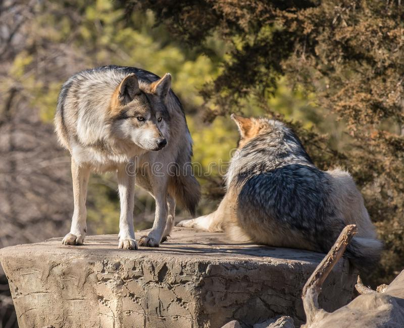 A pair of wolves on a perch at Brookfield Zoo royalty free stock images