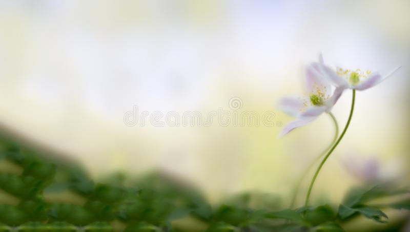 A pair of wood anemones entangled in love embrace. White pink wild flower macro in soft focus. Flower close up with two wildflowers. Panorama blurred royalty free stock photos