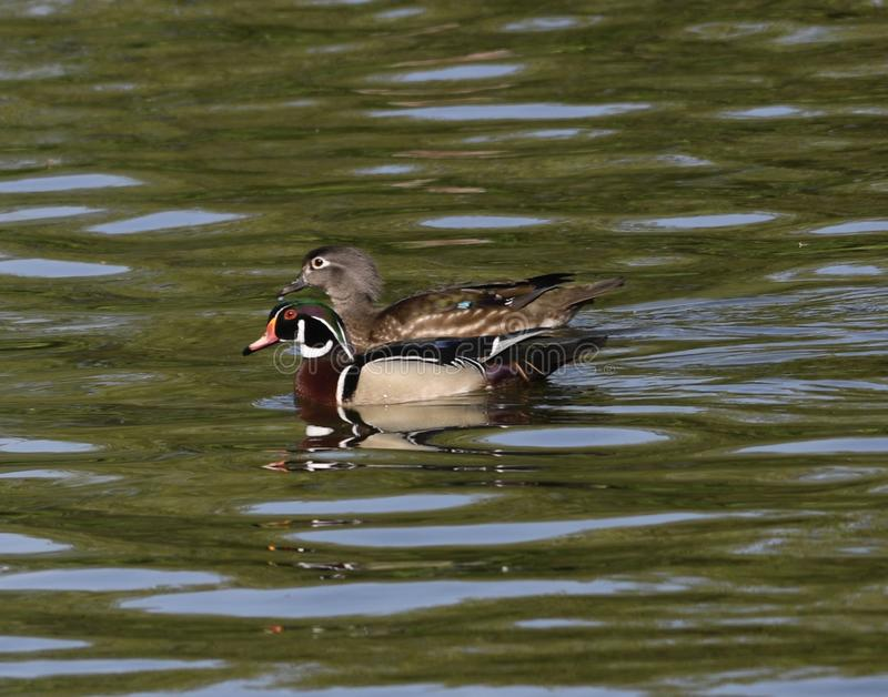 A Pair of Wood Ducks royalty free stock photos