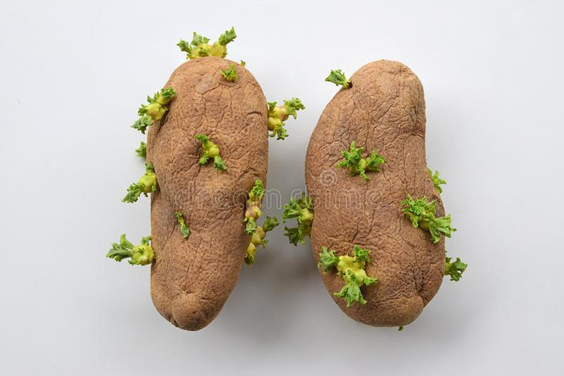 A pair of wrinkled old potatoes with fresh green young sprouts growing all over. Potato is a starchy, tuberous crop from the perennial nightshade Solanum stock images
