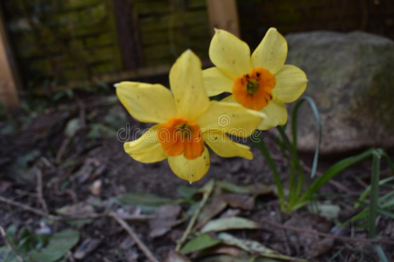 Yellow narcissus. A pair of yellow narcissus flowers in garden stock image