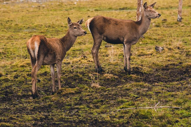 A pair of young deer who have not yet grown horns are walking through a pasture and stopped at a birch feeling the danger. royalty free stock images