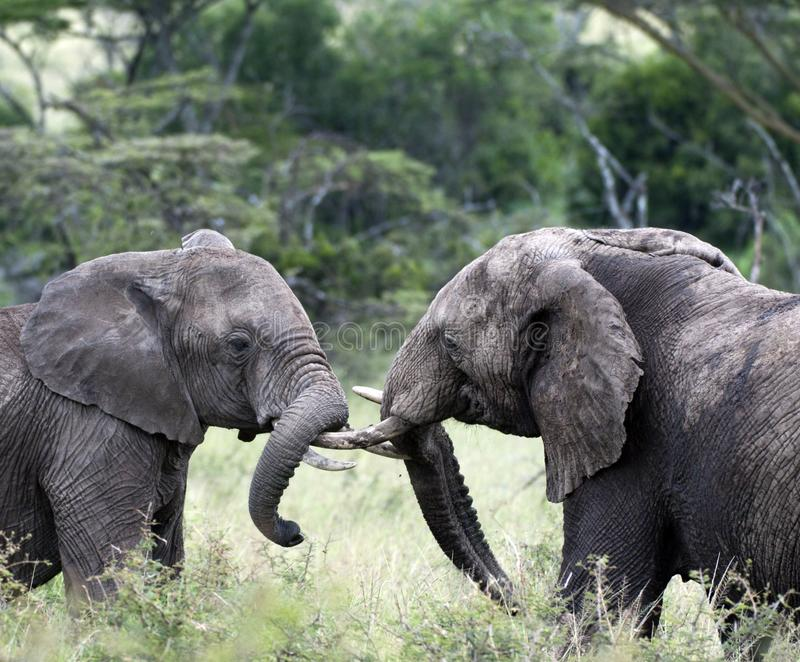 Pair of young elephants fighting, loxodonta africana, with ivory tusks locked. Pair of young elephants fighting, loxodonta africana, ivory tusks locked and one royalty free stock photo