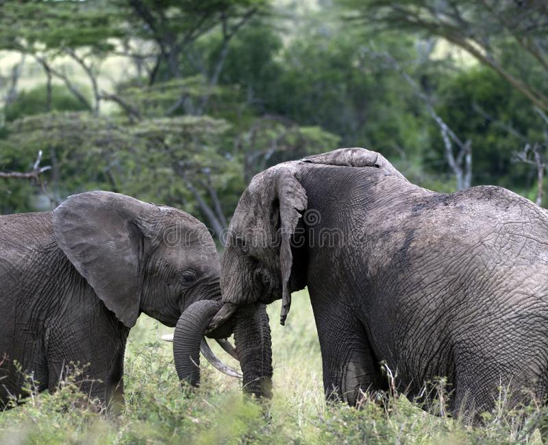 Pair of young elephants fighting, one with the trunk of the other wrapped around ivory tusk. With trees in background. Masai Mara, Kenya, Africa royalty free stock photos