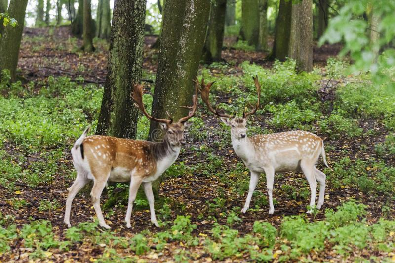 Pair of young fallow deers playing stock photo