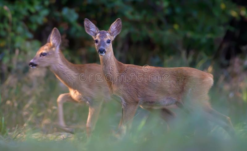 Pair of Young Roe deers walks together through grass. Pair of Young Roe deers funny matching together royalty free stock images