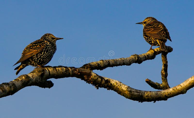 Starlings on branch. A pair of young starlings sitting on a tree branch stock image