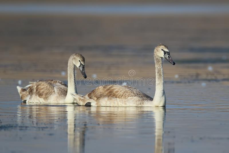 A pair of young swan close up royalty free stock photos