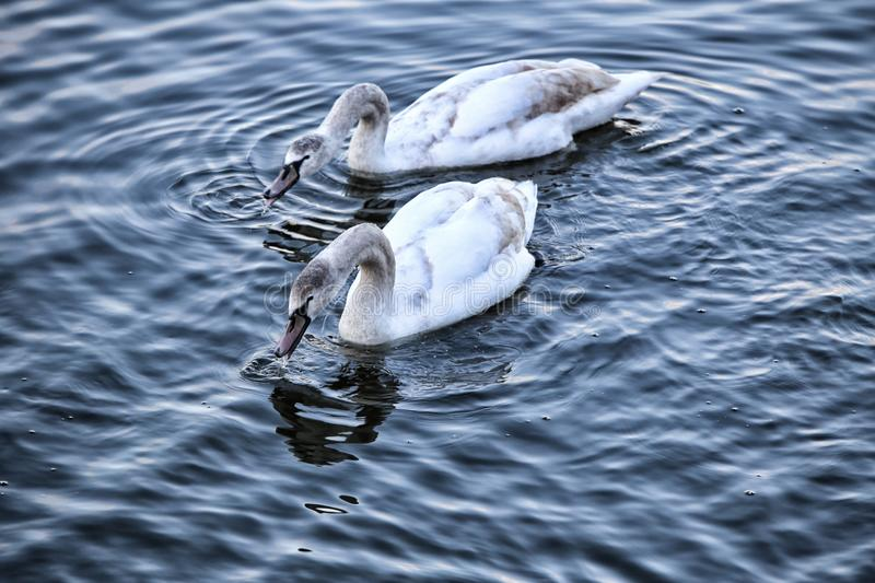 Pair of young swans on the wavy water drinking royalty free stock photo