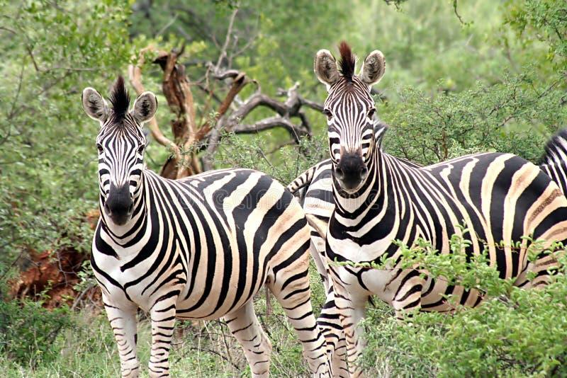 Pair of zebra stock photo