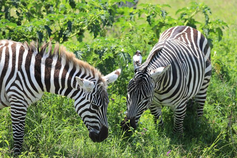 A zebra eating in masai mara. A pair of zebra eating in the masai mara game park stock photo
