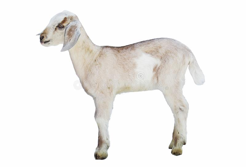 Paira no fundo branco, cultivando, animal, ungulate, fundo branco fotos de stock