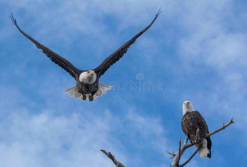 Paire américain d'aigle à tête blanche George et Gracie photo stock