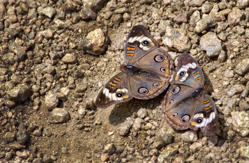 Paires communes de papillon de maronnier américain sur un chemin photo libre de droits