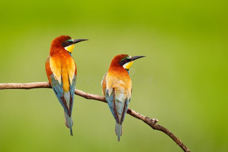 Paires d'Abeille-mangeurs européens de beaux oiseaux, apiaster de Merops, se reposant sur la branche avec le fond vert Oiseaux da photos libres de droits
